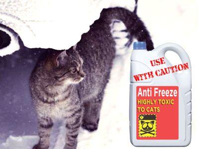 Gatti morti per antigelo