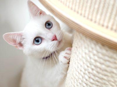 Gatto bianco con tiragraffi