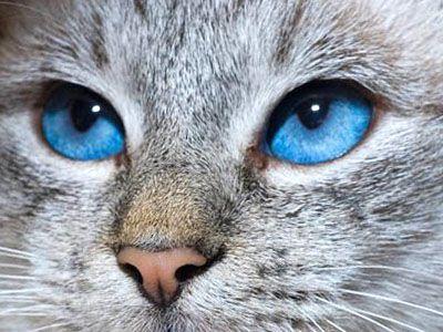 Gatto grigio pelo corto occhi azzurri