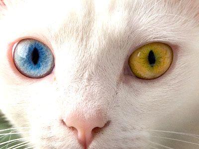 Forme e colori degli occhi del gatto for Gatti con occhi diversi