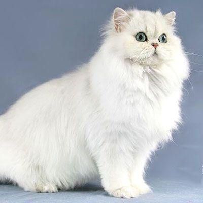 Il mantello del gatto colori e disegni - Immagine del gatto a colori ...